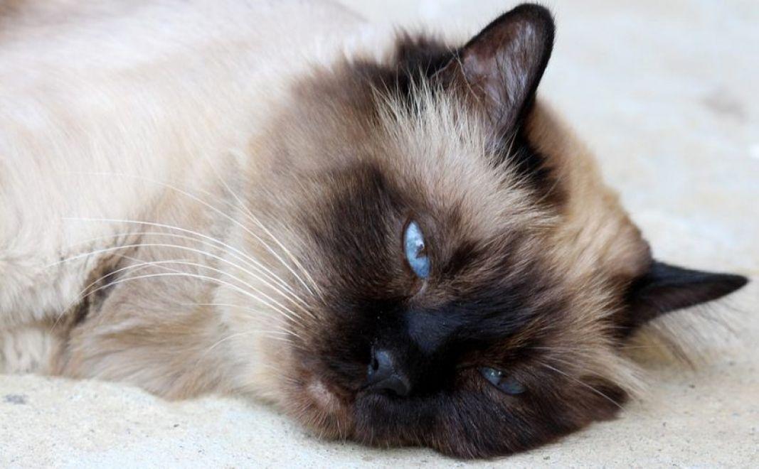 Homeopatia para Gatos